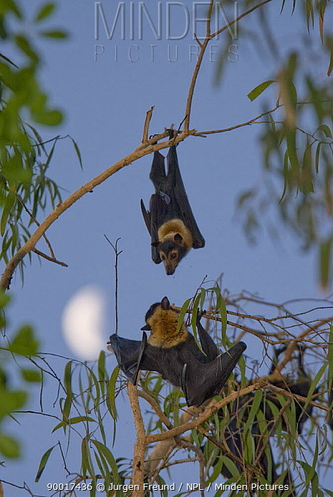 Spectacled Flying Fox (Pteropus conspicillatus) in trees, Queensland, Australia  -  Jurgen Freund/ npl