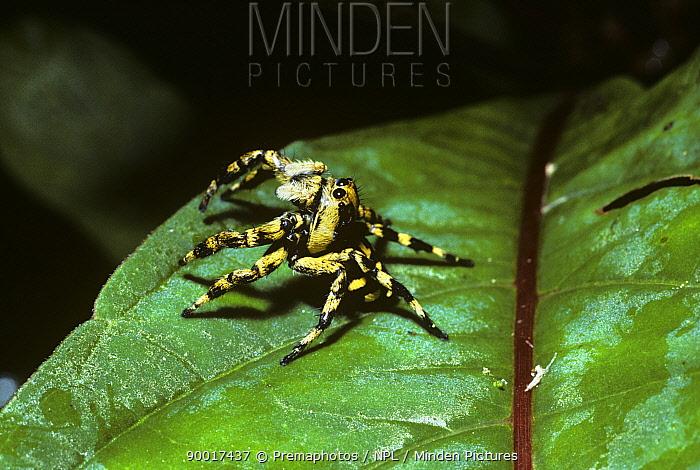 Jumping spider (Phiale guttata) female in rainforest, defense posture, Trinidad  -  Premaphotos/ npl