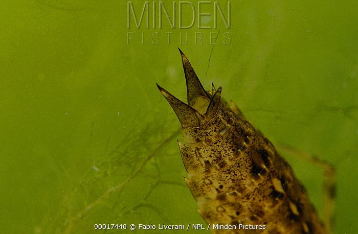 Close-up of Dragonfly rear end (Aeshna genus) larva amongst pond weed Grigne Mountains, Lombardia region, Italy  -  Fabio Liverani/ npl