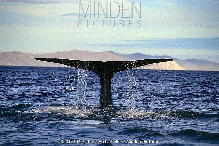 Blue Whale (Balaenoptera musculus) tail fluke, Baja California, Mexico  -  Doc White/ npl