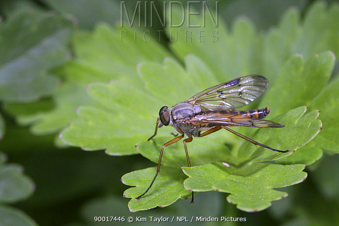 Snipe Fly (Rhagia scolopacea) resting on Buttercup leaf UK  -  Kim Taylor/ npl