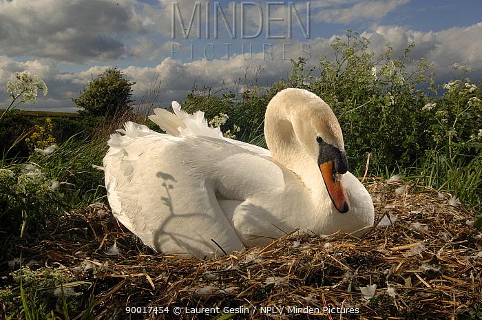Mute Swan (Cygnus olor) female on her nest, Walthamstow reservoir, London, United Kingdom  -  Laurent Geslin/ npl