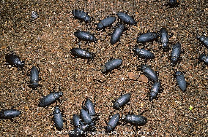 Beetles (Zophobas sp) feeding amongst bat guano in Tingo Maria cave, Peru  -  Premaphotos/ npl