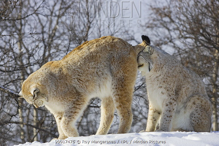 Eurasian Lynx (Lynx lynx) courtship behaviour Male smelling female scents, Norway,  -  Roy Mangersnes/ npl