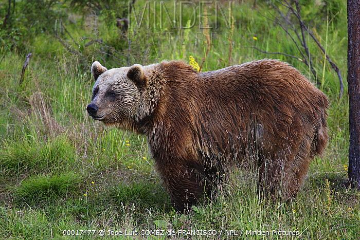 Brown Bear (Ursus arctos) female, Finland  -  Jose Luis Gomez De Francisco/ np