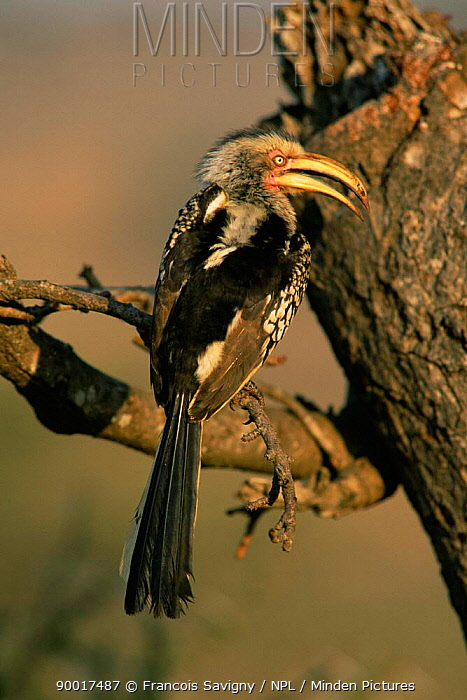 Southern Yellow-billed Hornbill (Tockus leucomelas) perching on branch with beak open, Kruger National Park, South Africa  -  Francois Savigny/ npl