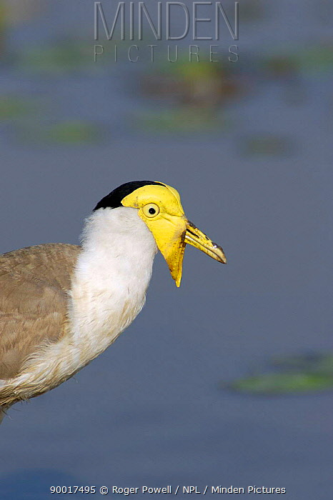 Masked Lapwing (Vanellus miles) close up of head, Northern Territory, Australia  -  Roger Powell/ npl