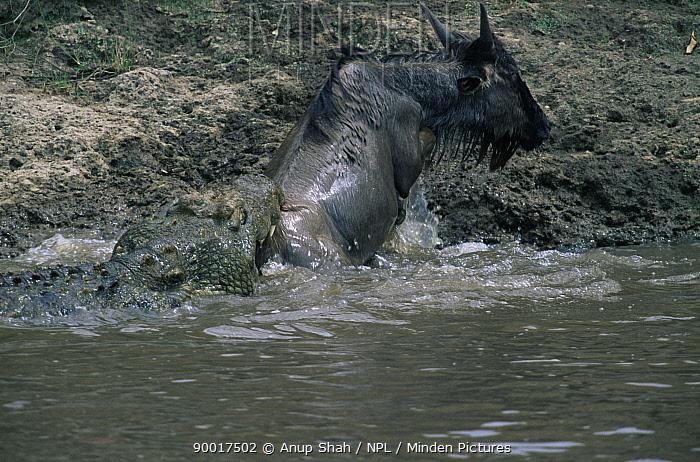 Nile Crocodile (Crocodylus niloticus) attacking Wildebeest crossing Mara River, Masai Mara, Kenya  -  Anup Shah/ npl