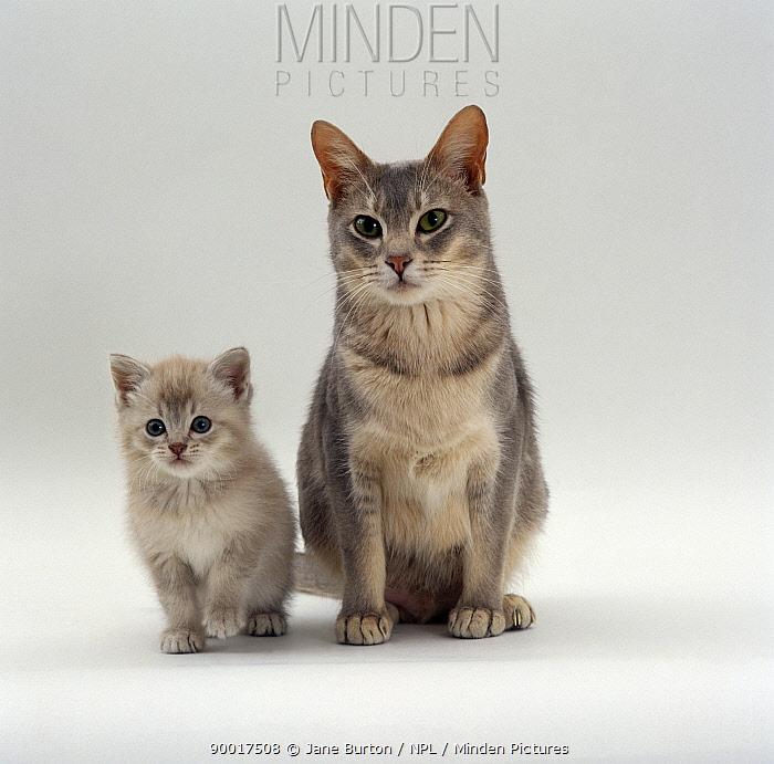 Domestic Cat (Felis catus) Blue Burmese-cross 'Bella' with her lilac kitten  -  Jane Burton/ npl