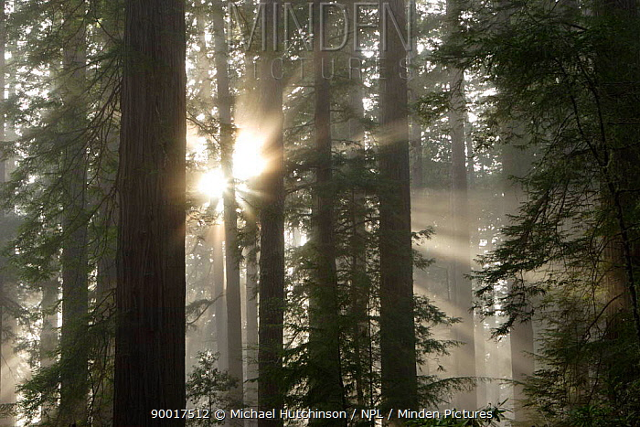 Coast Redwood (Sequoia sempervirens) in fog, trees get their water from the fog, Redwood National Park, California  -  Michael Hutchinson/ npl