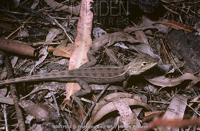 Agamid lizard (Diporiphora bennetti) Queensland, Australia  -  Premaphotos/ npl