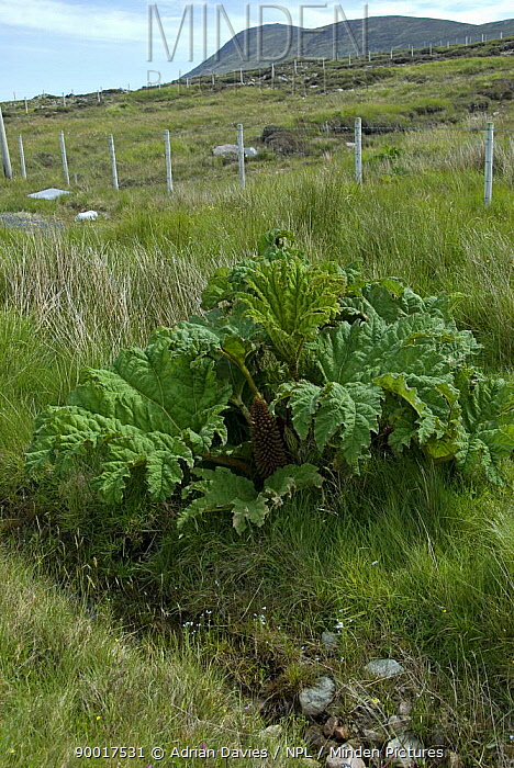 Gunnera tinctoria, invasive plant species growing on large tracts on land on Achill Island, County Mayo, Ireland  -  Adrian Davies/ npl