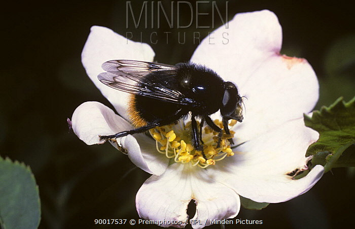 Hoverfly (Volucella bombylans), mimicking a red-tailed bumble bee on a Dog rose flower, United Kingdom  -  Premaphotos/ npl