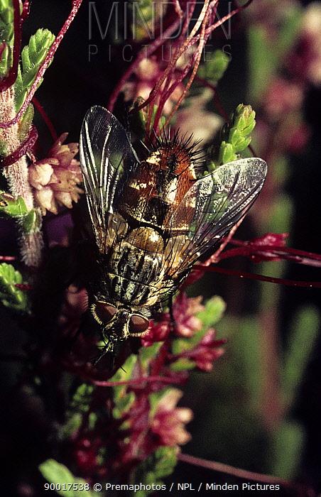 Parasite fly (Linnaemya, Linnaemyia vulpina) on heathland, UK  -  Premaphotos/ npl
