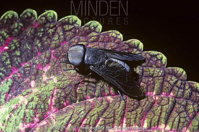Black horse fly (Tabanus atratus) in a swamp, Georgia, USA  -  Premaphotos/ npl