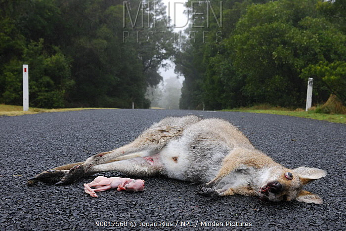 Female Red necked wallaby (Macropus rufogriseus), with joey road kill, Queensland, Australia  -  Jouan & Rius/ npl