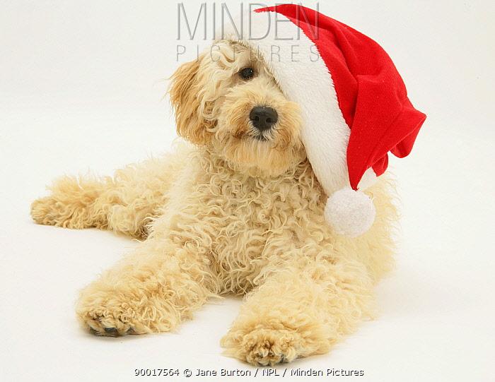Cream Miniature Poodle, wearing a Father Christmas hat  -  Jane Burton/ npl