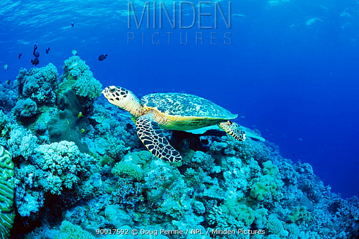 Hawksbill Sea Turtle (Eretmochelys imbricata) on coral reef Layang Layang Atoll, Malaysia  -  Doug Perrine/ npl