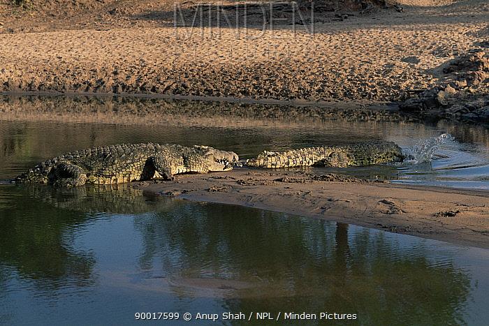Nile Crocodile (Crocodylus niloticus) with tail of intruding Crocodile in mouth, Grumeti River, Serengeti, Tanzania  -  Anup Shah/ npl
