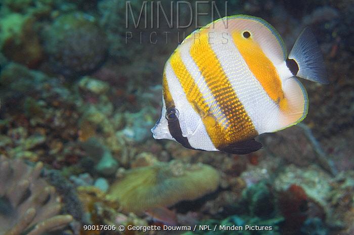 Golden-girdled Coralfish (Coradion chrysozonus)Lembeh Strait, North Sulawesi, Indonesia  -  Georgette Douwma/ npl