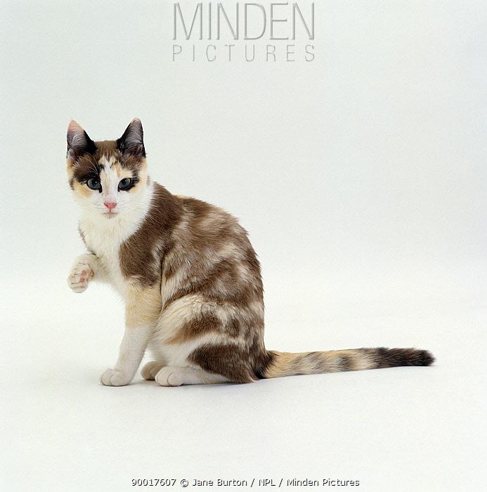 Domestic Cat (Felis catus) 5-month Chocolate-tortoiseshell 'Cookie', looking up from washing paw  -  Jane Burton/ npl