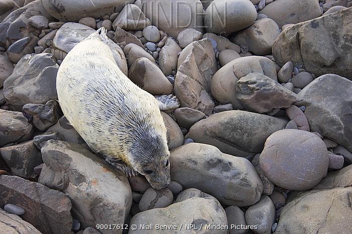 Grey Seal (Halichoerus grypus) pup on rocky foreshore, Scotland United Kingdom  -  Niall Benvie/ npl