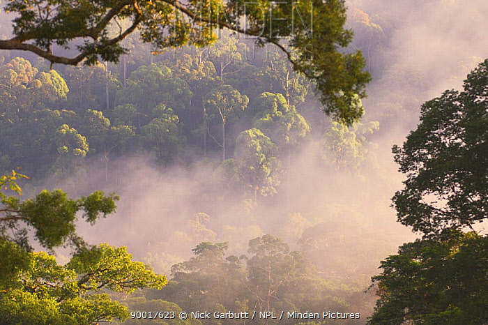 Early morning mist over the canopy, lowland rainforest, Danum Valley, Sabah, Borneo  -  Nick Garbutt/ npl