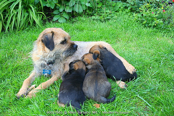 Border terrier (Canis familiaris) mother with three puppies suckling, outdoors  -  Miles Barton/ npl