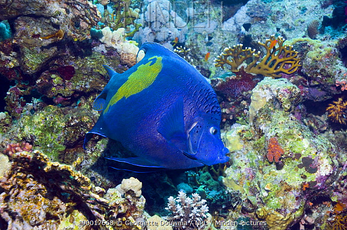 Map Angelfish (Pomacanthus maculosus) amongst corals, Red Sea, Egypt  -  Georgette Douwma/ npl