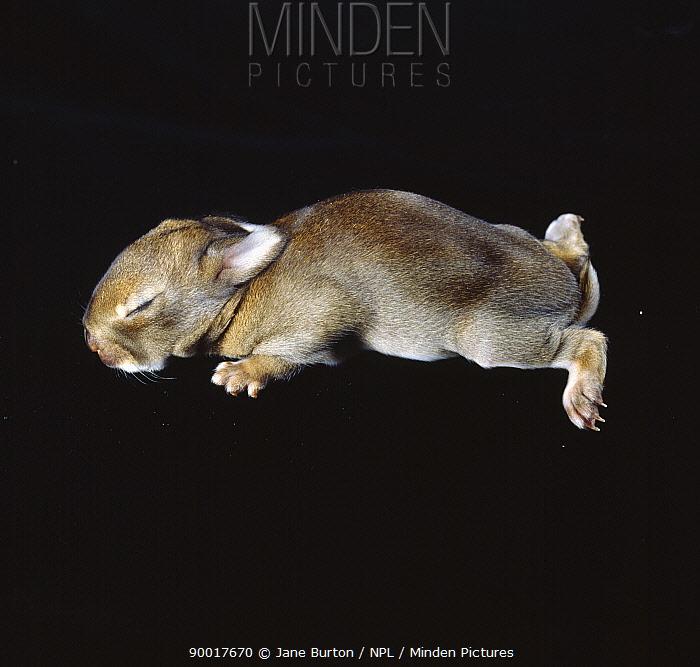 European Rabbit (Oryctolagus cuniculus) baby, 6-days, United Kingdom  -  Jane Burton/ npl