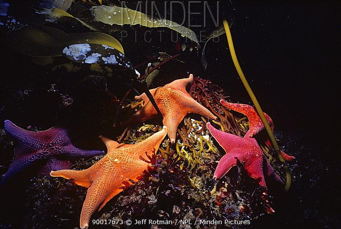 Bat Stars (Patiria miniata) grazing on kelp holdfasts, Channel Islands, California, USA, Pacific Ocean  -  Jeff Rotman/ npl