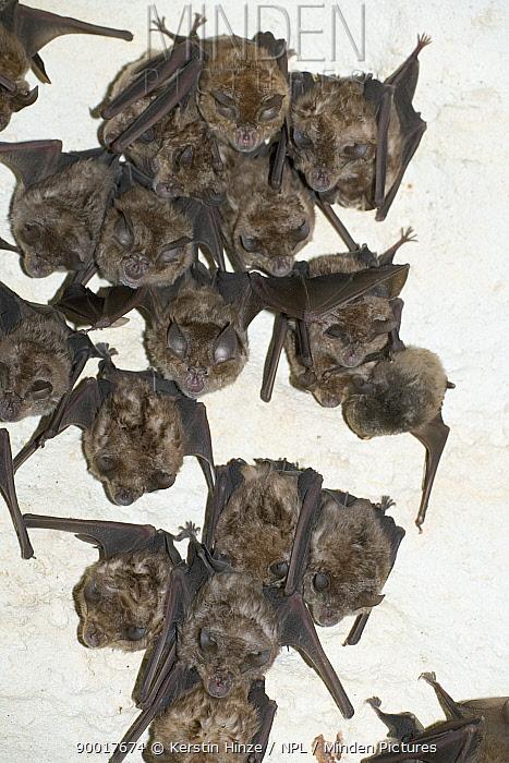 Greater Horseshoe Bat (Rhinolophus ferrumequinum) roosting in the cave Grotta su Coloru, Sardinia, Italy  -  Kerstin Hinze/ npl