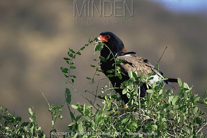 Bateleur Eagle (Terathopius ecaudatus) with nest material Samburu National Park, Kenya  -  Bernard Castelein/ npl