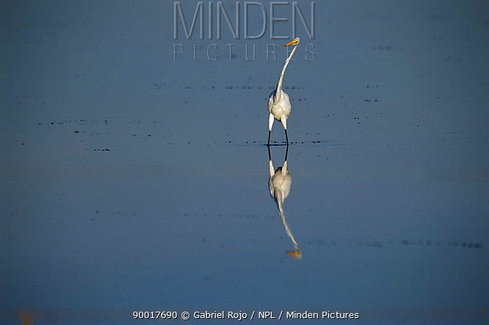 Great Egret (Casmerodius albus) in lake La Pampa, Argentina  -  Gabriel Rojo/ npl