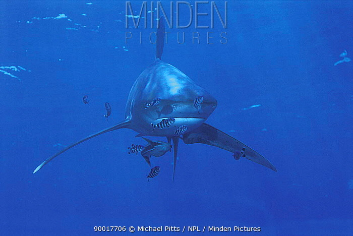 Oceanic White-tip Shark (Carcharhinus longimanus) and Pilotfish (Naucrates ductor), Red Sea  -  Michael Pitts/ npl