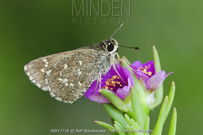 Celia's Roadside-Skipper (Amblyscirtes celia) adult on Shaggy Portulaca flower (Portulaca pilosa) Rio Grande Valley, Texas, USA  -  Rolf Nussbaumer/ npl