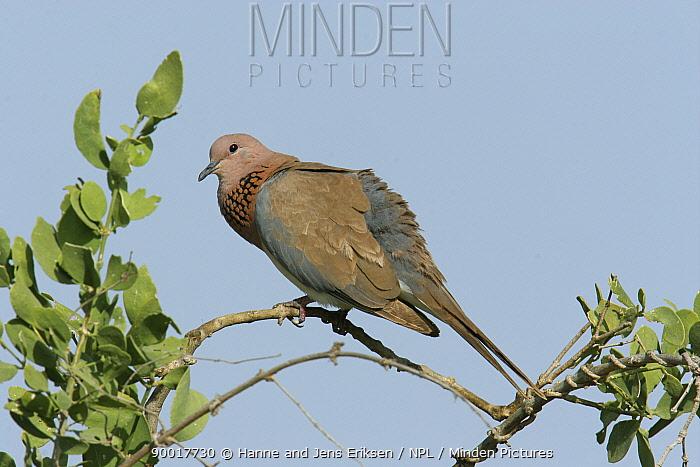 Laughing Dove (Streptopelia senegalensis) perched in tree, Muscat, Oman  -  Hanne & Jens Eriksen/ npl
