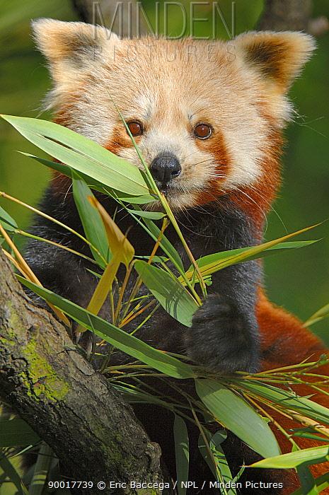 Lesser Panda (Ailurus fulgens) feeding on bamboo leaves, captive  -  Eric Baccega/ npl