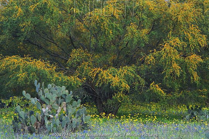 Wildflower field with Texas Prickly Pear Cactus (Opuntia lindheimeri) Huisache tree (Acacia farnesiana) Squaw Weed (Senecio ampullaceus)Texas Bluebonnet (Lupinus texensis),Three Rivers, Live Oak County, Texas, USA, March 2007  -  Rolf Nussbaumer/ npl