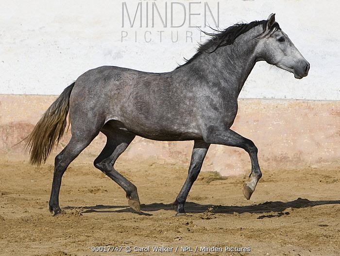 Grey Andalusian mare trotting in arena yard, Osuna, Spain  -  Carol Walker/ npl