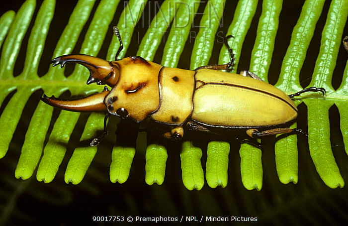 Stag beetle (Dorcus occipitalis) male on a fern frond in rainforest, Malaysia  -  Premaphotos/ npl