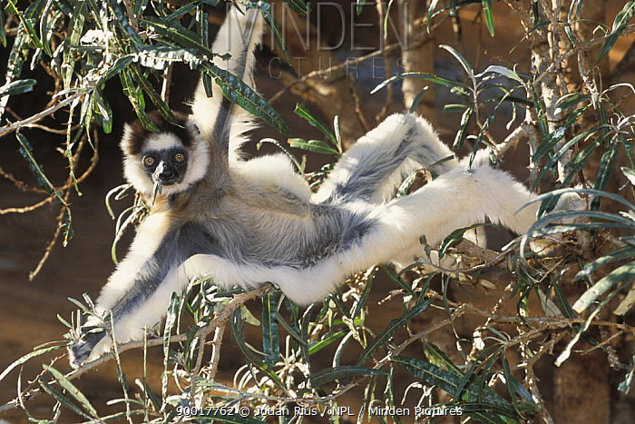 Verreaux's Sifaka (Propithecus verreauxi) stretching to get more food while feeding, dry forest of Berenty reserve, Madagascar South  -  Jouan & Rius/ npl