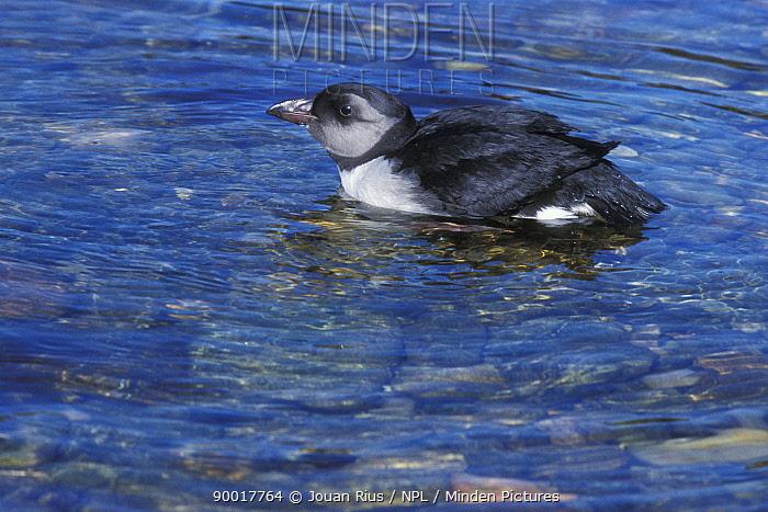 Atlantic Puffin (Fratercula arctica) juvenile on water, Shetland Islands, Scotland United Kingdom  -  Jouan & Rius/ npl