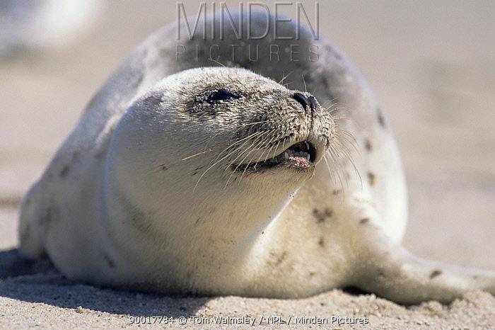 Harp Seal (Phoca groenlandicus) juvenile on beach Cape Cod, MA  -  Tom Walmsley/ npl