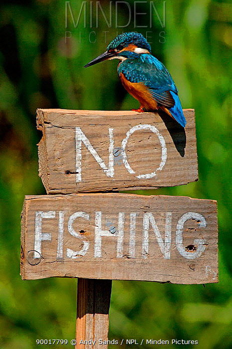 Common Kingfisher (Alcedo atthis) on 'No fishing' sign, United Kingdom  -  Andy Sands/ npl
