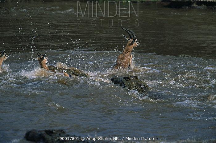 Nile Crocodile (Crocodylus niloticus) attacking Springbok crossing Mara River, Masai Mara, Kenya  -  Anup Shah/ npl