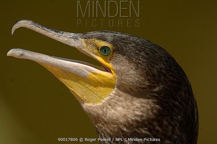Great Cormorant (Phalacrocorax carbo) head portrait, Victoria, Australia  -  Roger Powell/ npl