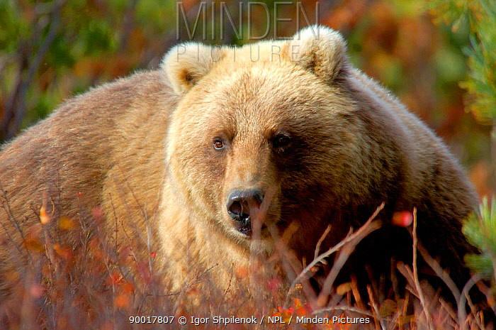 Brown Bear (Ursus arctos) gorged on salmon and berries, Kronotsky Zapovednik Reserve, Kamchatka, Russia  -  Igor Shpilenok/ npl