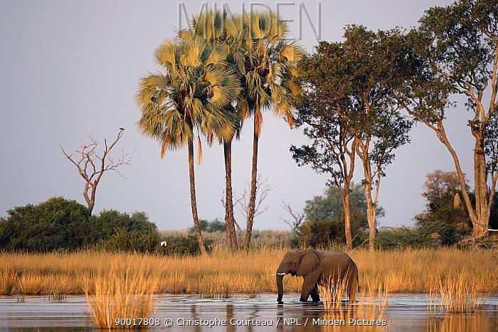 African elephant wades through water in the Okavango Delta, Botswana  -  Christophe Courteau/ npl