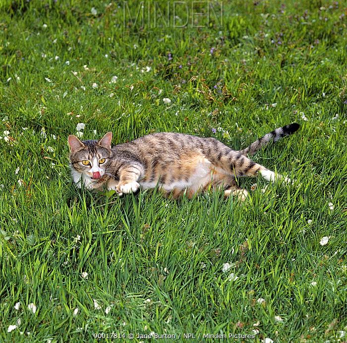 Domestic Cat (Felis catus), pregnant tabby female lying on grass  -  Jane Burton/ npl
